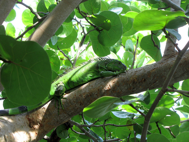"""""""Iggy"""" the Iguana in a tree. We frequently spot him around the pond."""