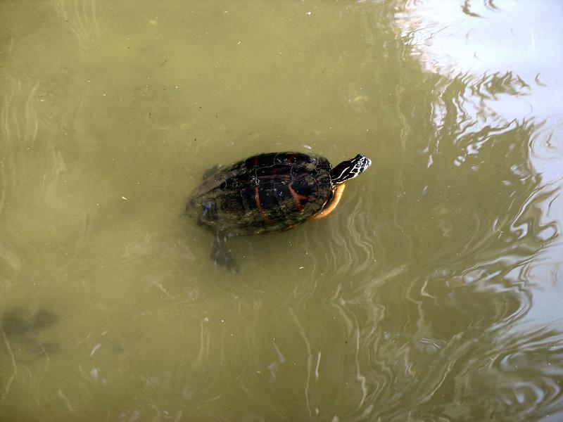 Pond turtle.