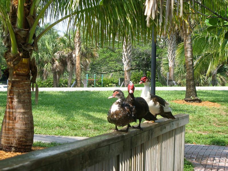 Three ducks.