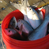 Bluefish in a bucket. (2005)