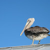 Fuzzy pelican on the roof.