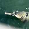Sawfish.