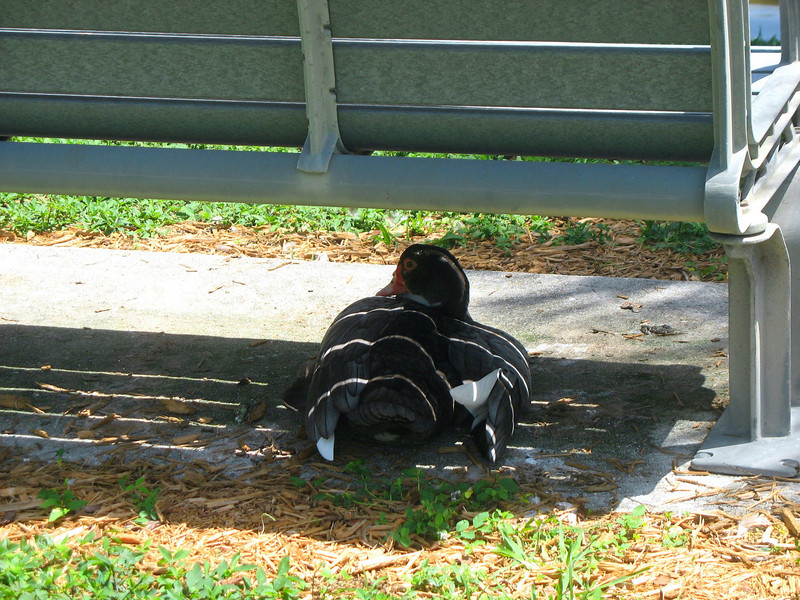 Duck resting in the shade. We all have to get out of the sun.