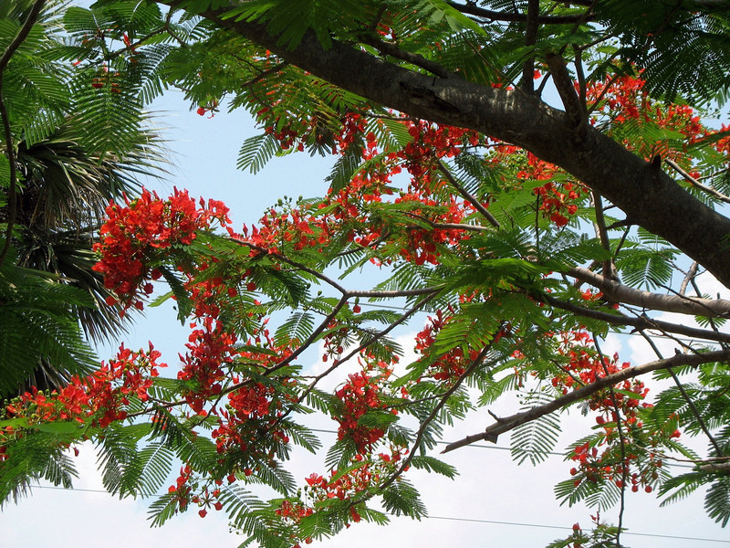Royal Poinciana Tree.