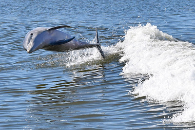 Ft Myers Dolphin Sighting