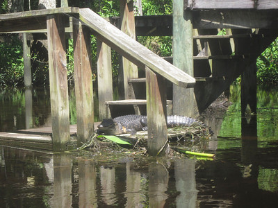 gator on dock