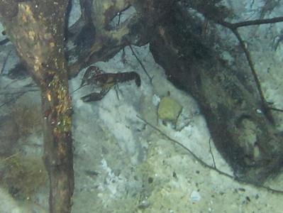 crawfish in spring at Holmes Creek