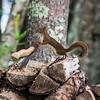 Paul Bunyon squirrel!