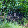 After photographing the squirrel, I  noticed a woodpecker just to the left on a pile of old fire pit coals.