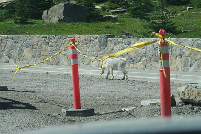 20110827 - 054 - GNP - Goat Approaching Logan Pass Along GTTS Road