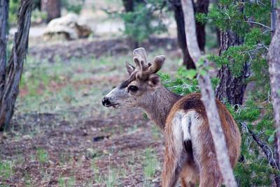 Mule Deer at the campsite