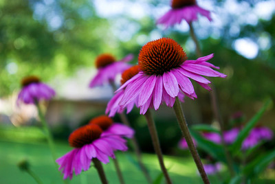 flowers in Trixie's neighbor's yard