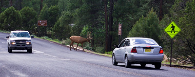 our first view of a wild Elk.  (would see them pretty much every day somewhere on site)