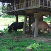 There are two water buffalo on site