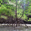 And in the middle we find a lone mangrove tree all by itself.