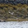 853 Arctic Tern