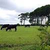 Cows are easy to photograph... they don't move very fast.