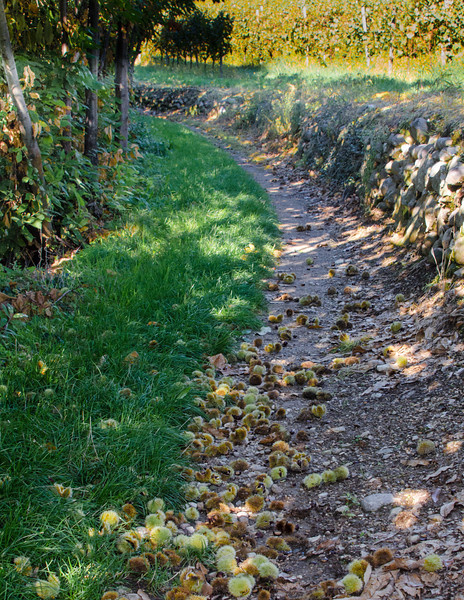 10-16-12 Lot's of chestnuts. This is the season here in Italy - we'll see them at lunch.