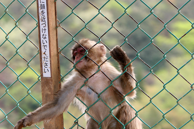 That's the humans behind the fencing, not the monkeys...