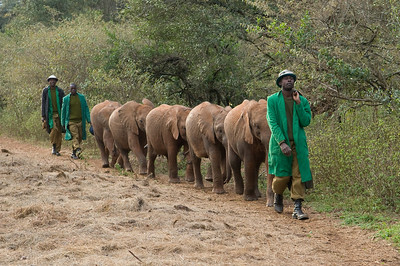 "Orphan baby elephants coming home from a day of learning ""in the wild"""