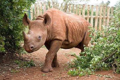 Blind orphan Black Rhino