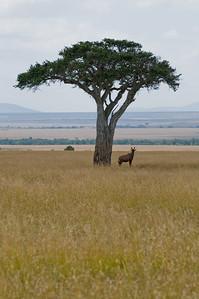 Topi under a tree