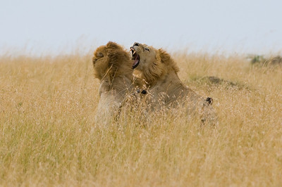 Male Lions fighting over a Lioness