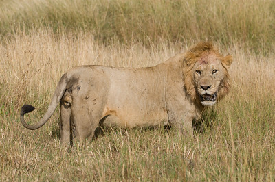 Male Lion after a fight with another male Lion