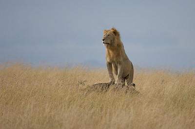 Male Lion on termite mound