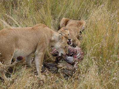 Lionesses eating a Zebra