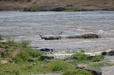 Three Crocodiles floating down the Masai River with a White-Bearded Wildebeest