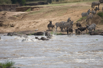 White-Bearded Wildebeest and Common Zebra crossing the Masai River