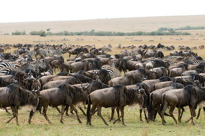 White-Bearded Wildebeest and Common Zebra