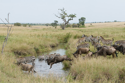 White-Bearded Wildebeest and Common Zebra crossing a small stream
