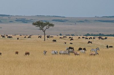 Common Zebra, Topi, and Eastern White-Bearded Wildebeest with some Vultures in the Acacia Tree
