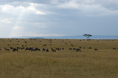 Lots of Eastern White-Bearded Wildebeest and a few Topi