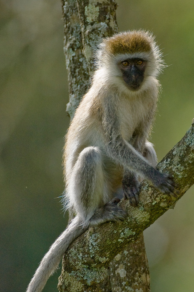 Ververt Monkey