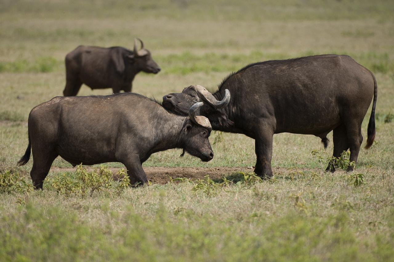 African Cape Buffalos