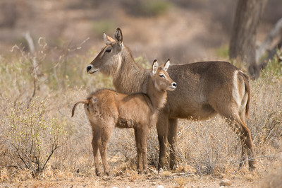 female and baby Common Waterbucks