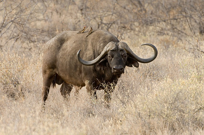 African Cape Buffalo with Yellow-Billed Oxpeckers