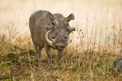 Warthog with a broken tusk
