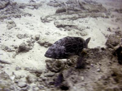 2 Grouper