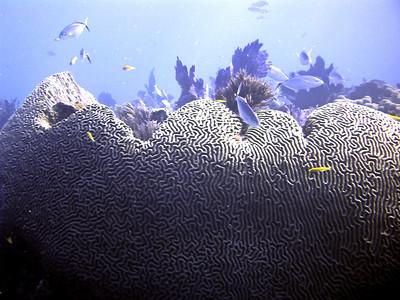 2 Brain Coral