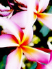 Fri 06-09-01 Plumeria - painted 2