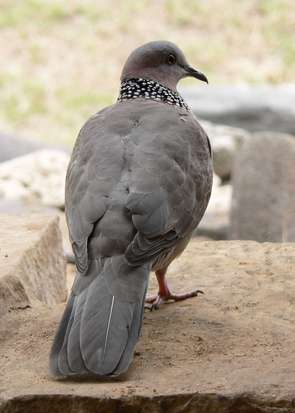 Sun 06-08-27 Some kind of dove at Mama's Fish House - lunch today.