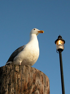 A seagull on watch