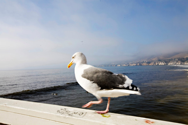 Seagull on the Pismo Beach Pier.