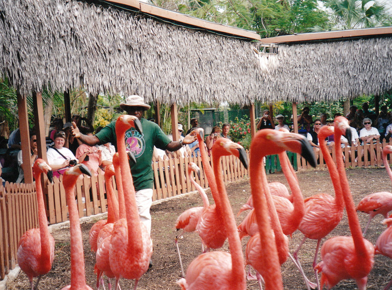 Marching flamingos.