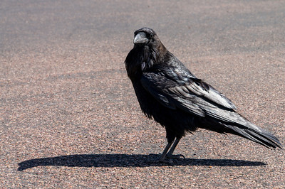 Huge raven stalking us in the parking lot