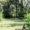 Swamp egret.